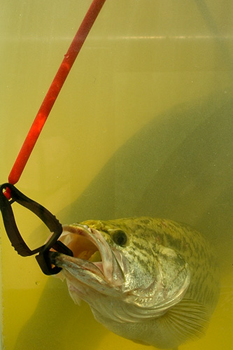 Bass guard premium culling system securely holds fish for Fish culling system